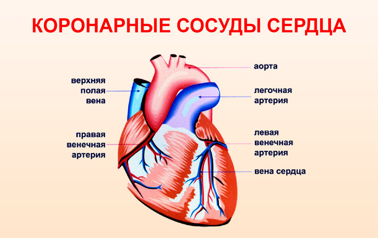 Коронарные сосуды сердца